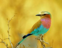 Lilac-Breasted Roller #110511