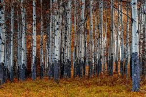 Birches #11815