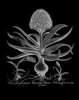 Hyacinthus #123030