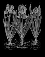Iris Latifolia #123031