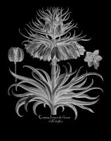 Corona Imperialis florum #123032