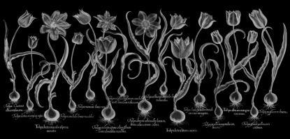 Tulip #123038