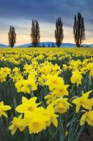 Skagit Valley Daffodils I #46212