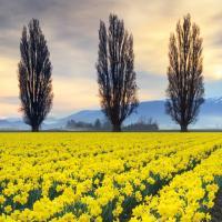 Skagit Valley Daffodils II #46213