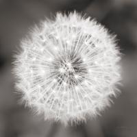 Dandelion Seedhead #46215