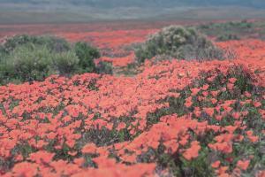 California Blooms II #50746