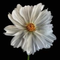 Daisy White 1 #51855