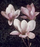 Pink Magnolias II #IS4620