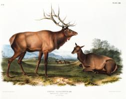 American Elk #81476