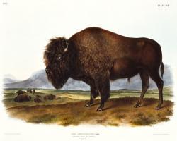 American Bison #81477