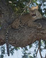 Leopard Territory #SN112007