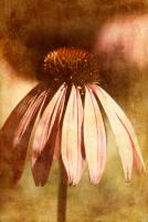 Echinacea I #71530