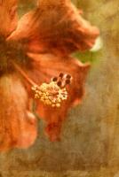 Hibiscus 1 #71533