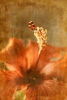 Hibiscus 2 #71534