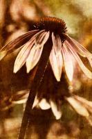 Echinacea II #71892
