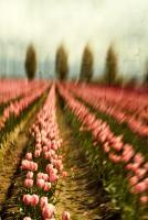Tulip Field 1 #81959