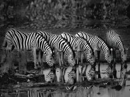 Zebras Reflection #IG 4649