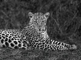 Leopard Portrait #IG 4650