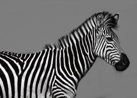 Cebra Retrato #IG 4651