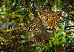 Leopard Camouflage #IG 4652