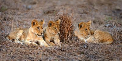 Lions Cub #IG 4654