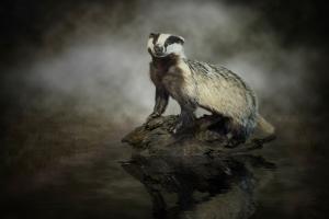 European Badger #IG 8366