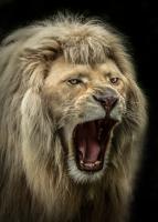 The Lion Roars #IG 9165